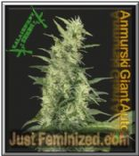 Kalashnikov Seeds Bank Aamurskiy Giant Auto Pot Strain for Sale